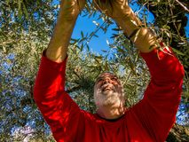 Olive harvest. A man working during the olive harvest Stock Photo