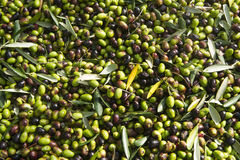 The olive harvest with nets Stock Photos