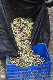 Olive harvest, newly picked olives of different colors and olive leafs. Royalty Free Stock Photography