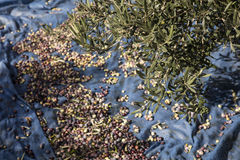 Olive harvest, newly picked olives of different colors and olive leafs. Stock Photo