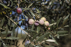 Olive harvest, newly picked olives of different colors and olive leafs. Stock Photos