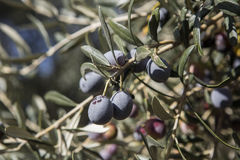 Olive harvest, newly picked olives of different colors and olive leafs. Stock Image