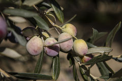 Olive harvest, newly picked olives of different colors and olive leafs. Royalty Free Stock Photos