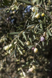 Olive harvest, newly picked olives of different colors and olive leafs. Royalty Free Stock Image