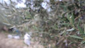 Olive harvest, newly picked olives of different colors and olive leafs. stock video footage