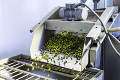 Olive Harvest. Olives harvesting in a plantation in Sicily Stock Photo