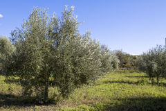 Olive Harvest. Olives harvesting in a plantation in Sicily Stock Image