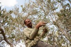 Olive harvest in Palestine Royalty Free Stock Photo