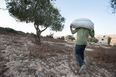 Olive harvest in Palestine Stock Photo