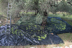 Olive harvest. Picking olives in the traditional way Stock Photos