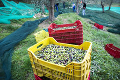 Olive harvest Royalty Free Stock Image