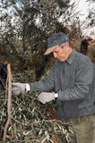 Olive harvesting Royalty Free Stock Photography