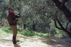 Olive harvesting Stock Images