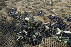 Olive harvesting Stock Image
