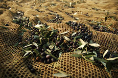 Olive harvesting Stock Photo
