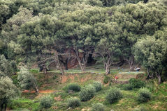 Olive harvesting. In forest of olive trees Stock Photography