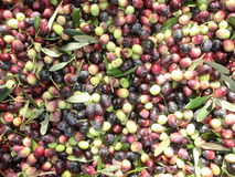 Olive harvesting in autumn Stock Photography