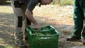 Olive harvesting in baskets stock video footage