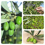 Olive harvesting collage. A collage of different pictures of olive harvesting Royalty Free Stock Photos