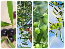 Olive harvesting collage. A collage of different pictures of olive harvesting Stock Images