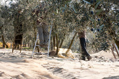 Olive harvesting with ladders Royalty Free Stock Image