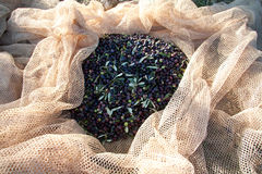 Olive harvesting net with olives royalty free stock images