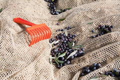 Olive harvesting net with red rake and olives Royalty Free Stock Image