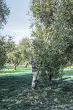 Olive harvesting in small village in Puglia region in south of I Stock Images