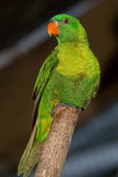 Olive-Headed Lorikeet Royalty Free Stock Image
