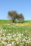 Olive hill. With flowery meadow Royalty Free Stock Image