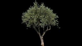 Olive Isolated Tree stock video