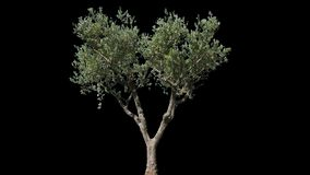 Olive Isolated Tree video d archivio