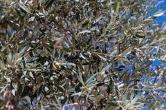 Olive koloni och olivgrön på filial Arkivfoto