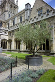 olive kvadrattree Royaltyfria Foton