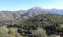 Olive landscape - 2. Cretan landscape with olive trees and hills. Fodele. Crete. Greece Royalty Free Stock Photos
