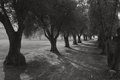 olive lane Fotografia Royalty Free