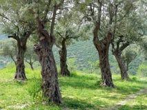 olive lasek zdjęcia stock