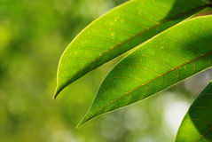 Olive leaf Stock Images