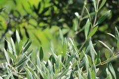 Olive Leaf Branch con el fondo suave del foco Fotografía de archivo