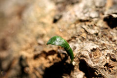 Olive leaf on tree trunk Stock Photography