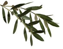 Olive leaves Royalty Free Stock Image