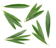 Olive leaves isolated on white, without shadow Royalty Free Stock Images