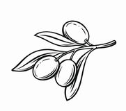 Olive with leaves. Vector label on white background Stock Photos