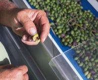 Olive mature sul nastro trasportatore sulla fabbrica dell'olio d'oliva Fotografia Stock Libera da Diritti