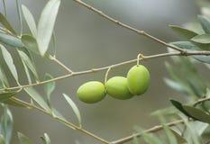 Olive mature sul ramo Fotografia Stock
