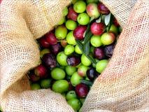 Olive nel nido Immagine Stock