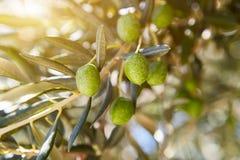 Olive nel villaggio della Croazia Immagine Stock Libera da Diritti