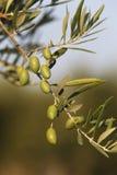 Olive nell'oliva Fotografie Stock