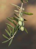 Olive nell'oliva Fotografie Stock Libere da Diritti
