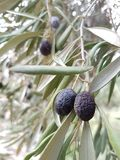 Olive nere che pendono da un ramo - primo piano Immagine Stock